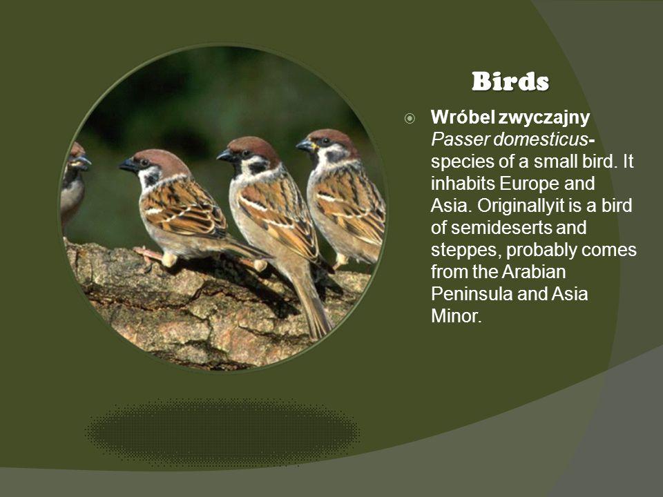 Kliknij ikonę, aby dodać obraz Birds Wróbel zwyczajny Passer domesticus- species of a small bird. It inhabits Europe and Asia. Originallyit is a bird