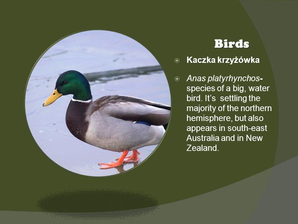 Kliknij ikonę, aby dodać obraz Birds Kaczka krzyżówka Anas platyrhynchos- species of a big, water bird.