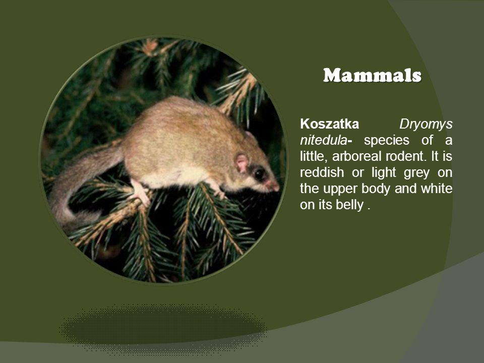 Kliknij ikonę, aby dodać obraz Mammals Koszatka Dryomys nitedula- species of a little, arboreal rodent. It is reddish or light grey on the upper body