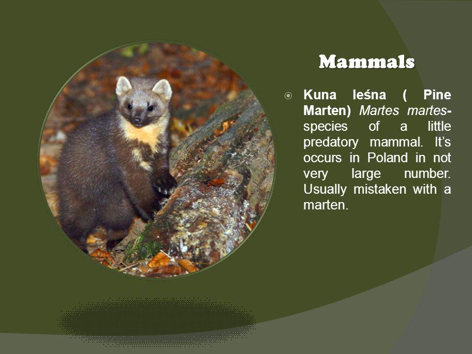 Kliknij ikonę, aby dodać obraz Mammals Kuna leśna ( Pine Marten) Martes martes- species of a little predatory mammal. Its occurs in Poland in not very