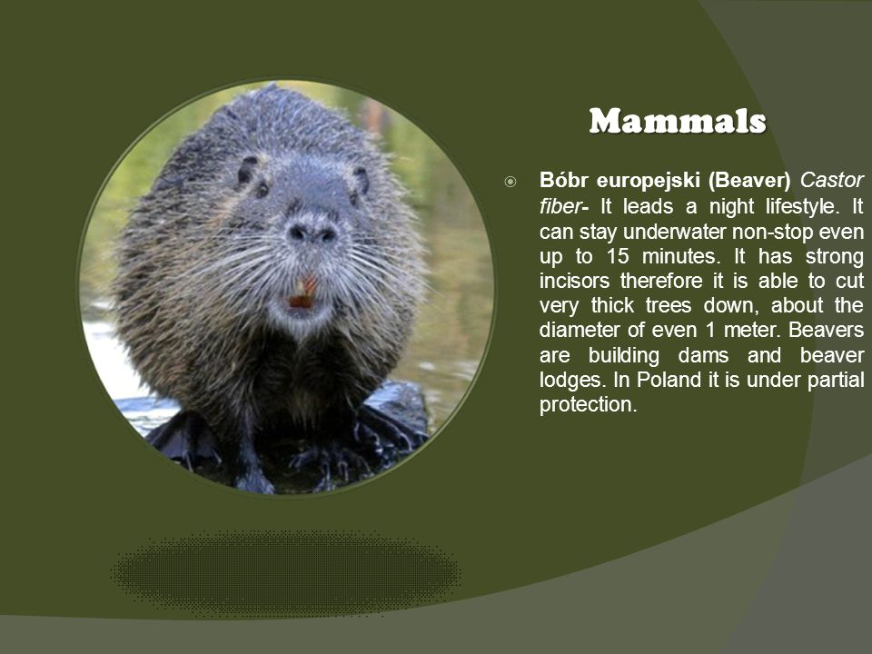 Kliknij ikonę, aby dodać obraz Mammals Bóbr europejski (Beaver) Castor fiber - It leads a night lifestyle.