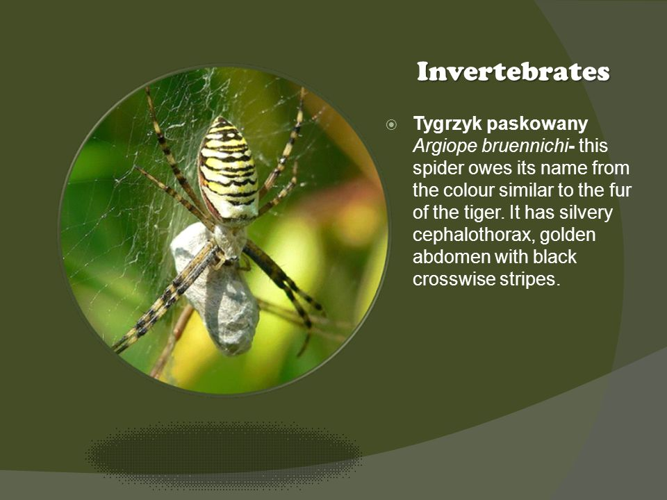 Kliknij ikonę, aby dodać obraz Invertebrates Tygrzyk paskowany Argiope bruennichi- this spider owes its name from the colour similar to the fur of the tiger.