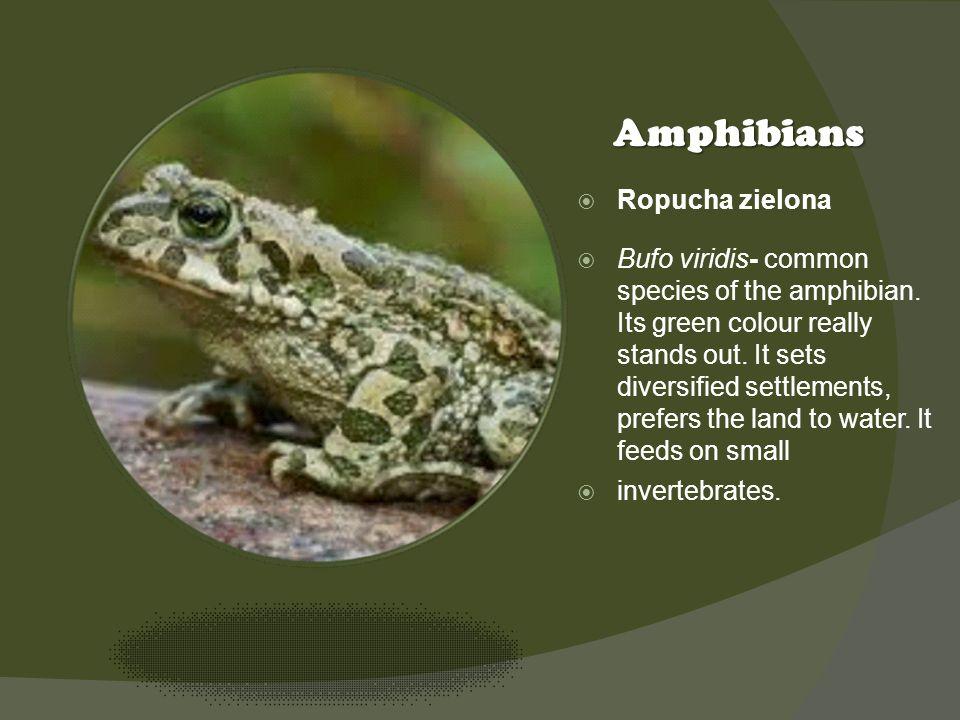 Kliknij ikonę, aby dodać obraz Amphibians Ropucha zielona Bufo viridis- common species of the amphibian. Its green colour really stands out. It sets d