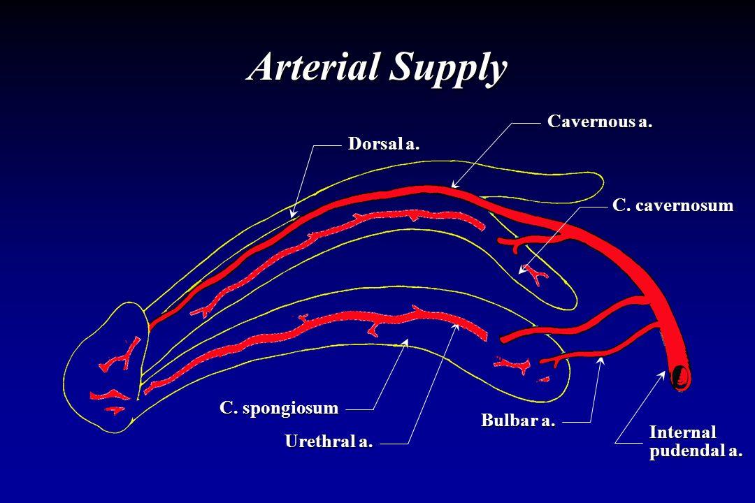 Internal pudendal a. Bulbar a. Urethral a. C. spongiosum Cavernous a. Arterial Supply C. cavernosum Dorsal a.