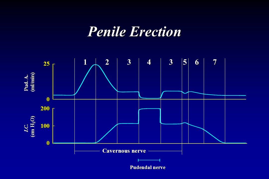 Penile Erection 25 0 200 100 0 Pud. A. (ml/min) (ml/min) I.C. (cm H 2 O) (cm H 2 O) Cavernous nerve Pudendal nerve 1 2 3 4 3 5 6 7