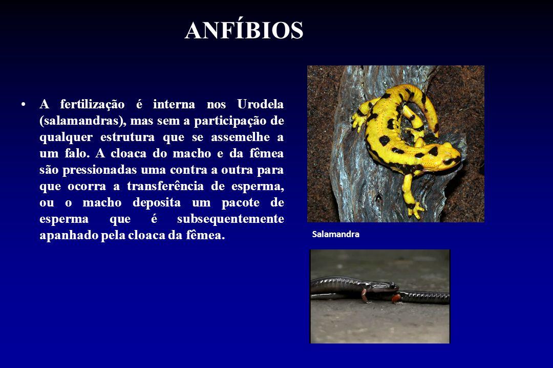 ANFÍBIOS A fertilização é interna nos Urodela (salamandras), mas sem a participação de qualquer estrutura que se assemelhe a um falo. A cloaca do mach