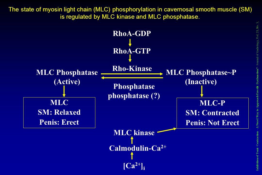 RhoA-GDP RhoA-GTP Rho-Kinase Phosphatase phosphatase (?) MLC Phosphatase (Active) MLC Phosphatase~P (Inactive) MLC SM: Relaxed Penis: Erect MLC-P SM: