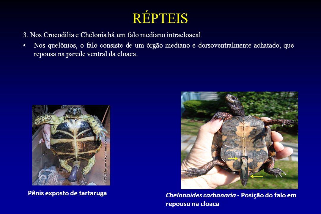 RÉPTEIS 3. Nos Crocodilia e Chelonia há um falo mediano intracloacal Nos quelônios, o falo consiste de um órgão mediano e dorsoventralmente achatado,
