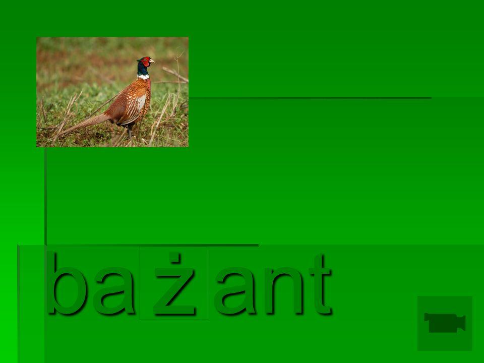 ż ba ant