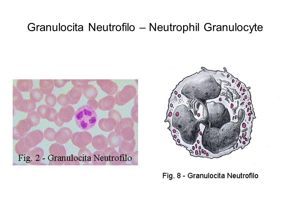 Granulocita Neutrofilo – Neutrophil Granulocyte