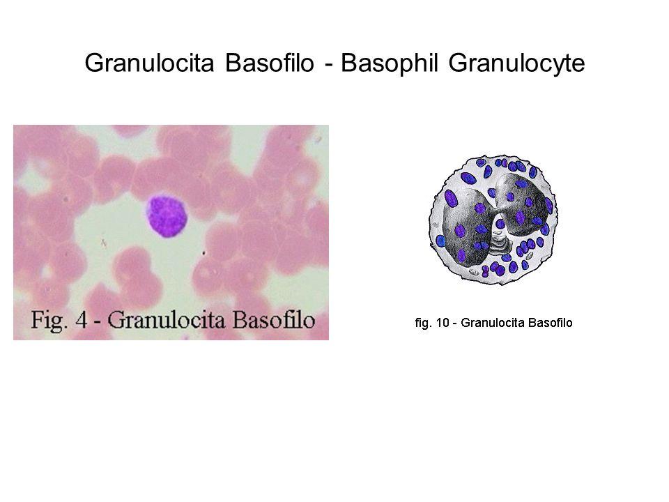 Granulocita Basofilo - Basophil Granulocyte