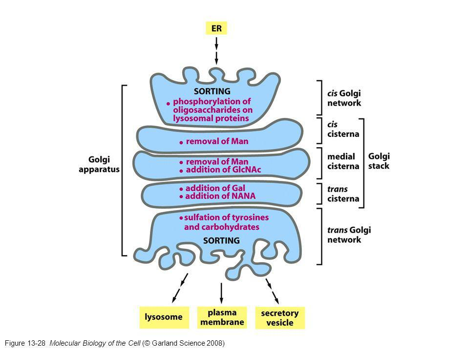 Figure 13-28 Molecular Biology of the Cell (© Garland Science 2008)