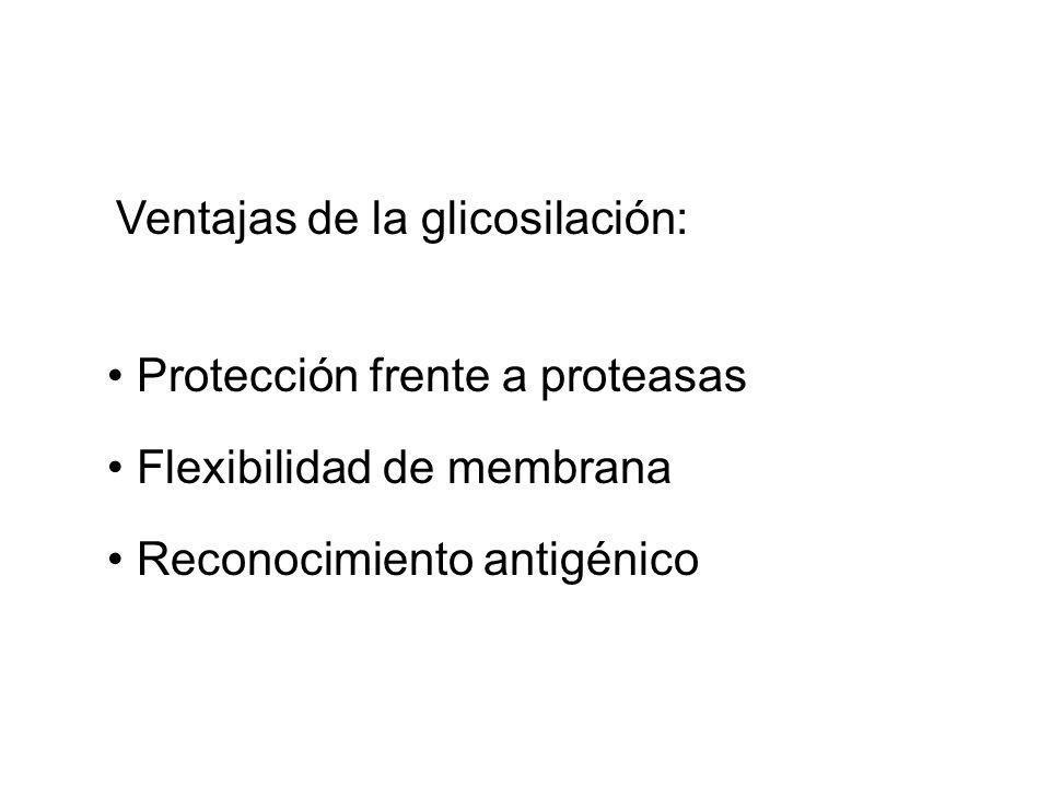 Ventajas de la glicosilación: Protección frente a proteasas Flexibilidad de membrana Reconocimiento antigénico