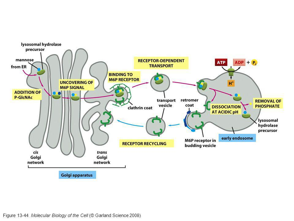 Figure 13-44 Molecular Biology of the Cell (© Garland Science 2008)
