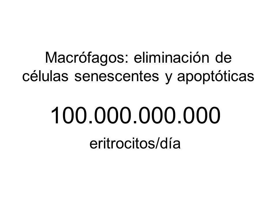 100.000.000.000 eritrocitos/día Macrófagos: eliminación de células senescentes y apoptóticas
