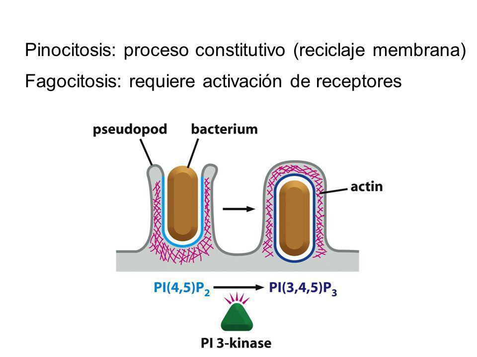 Pinocitosis: proceso constitutivo (reciclaje membrana) Fagocitosis: requiere activación de receptores