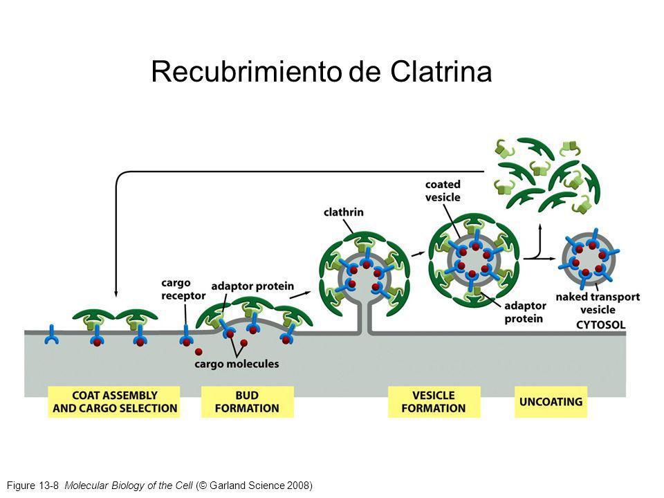 Figure 13-8 Molecular Biology of the Cell (© Garland Science 2008) Recubrimiento de Clatrina