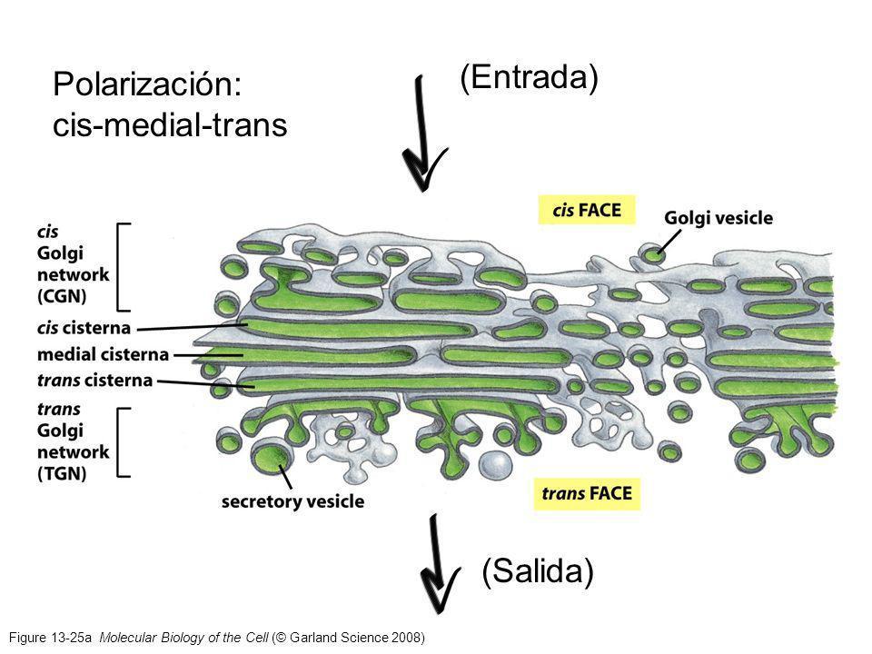 Figure 13-25a Molecular Biology of the Cell (© Garland Science 2008) (Entrada) (Salida) Polarización: cis-medial-trans