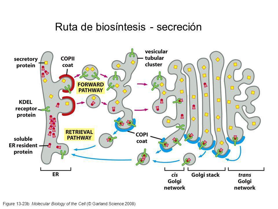 Figure 13-23b Molecular Biology of the Cell (© Garland Science 2008) Ruta de biosíntesis - secreción