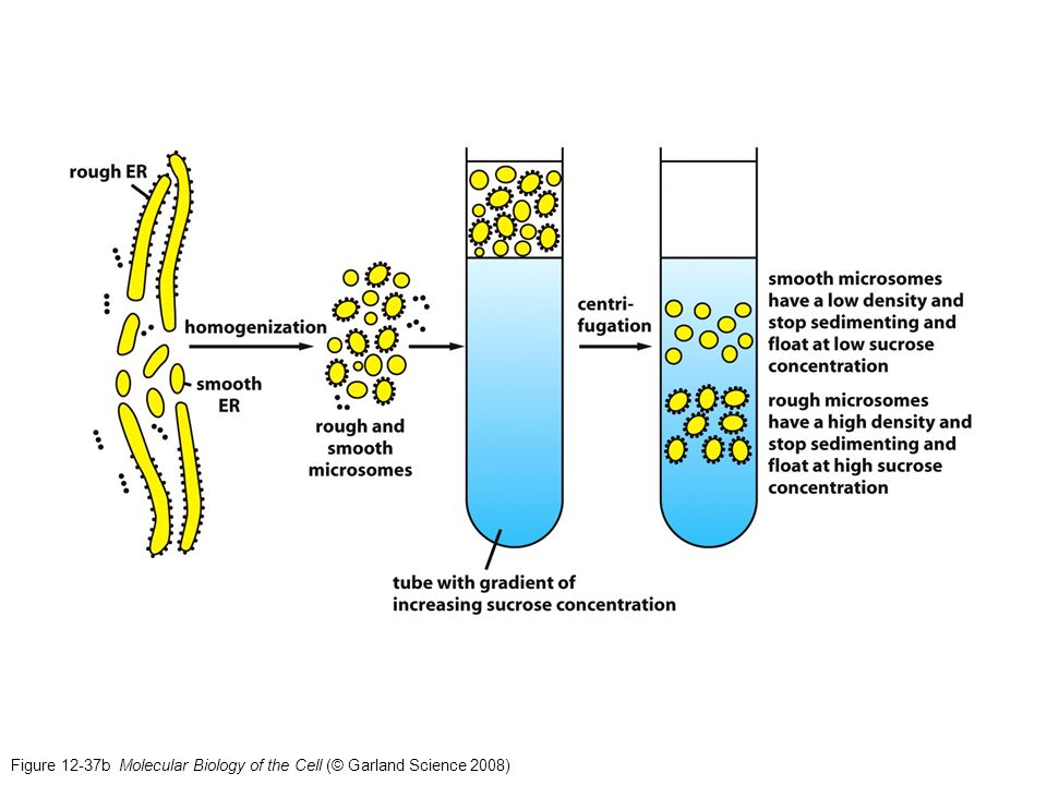 Figure 12-37b Molecular Biology of the Cell (© Garland Science 2008)