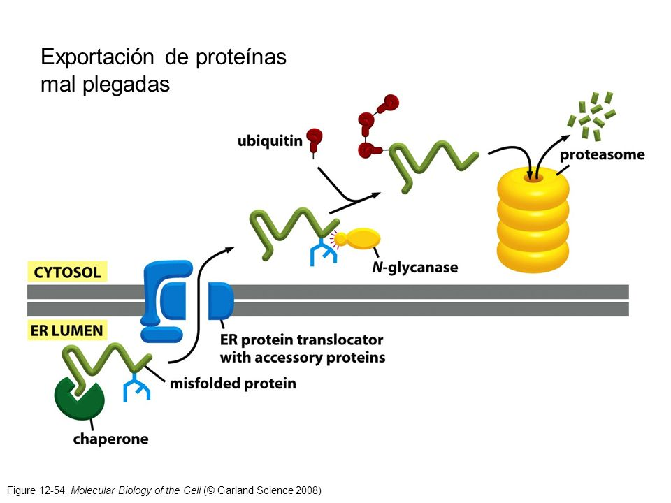 Figure 12-54 Molecular Biology of the Cell (© Garland Science 2008) Exportación de proteínas mal plegadas