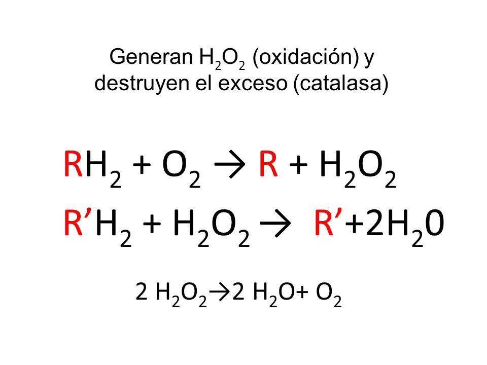 RH 2 + O 2 R + H 2 O 2 RH 2 + H 2 O 2 R+2H 2 0 2 H 2 O 2 2 H 2 O+ O 2 Generan H 2 O 2 (oxidación) y destruyen el exceso (catalasa)