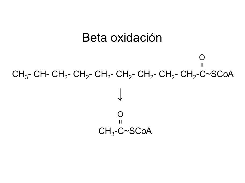 Beta oxidación CH 3 - CH- CH 2 - CH 2 - CH 2 - CH 2 - CH 2 - CH 2 - CH 2 -C~SCoA CH 3 -C~SCoA