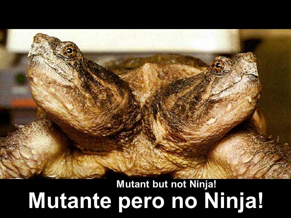 Two headed turtle Mutant but not Ninja! Mutante pero no Ninja!