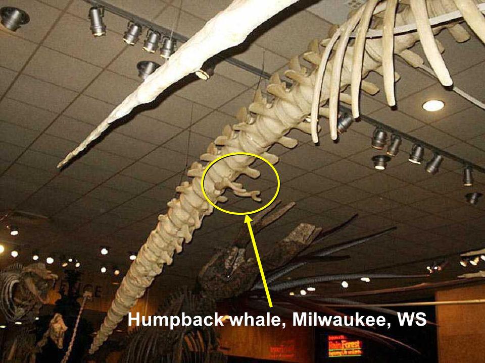 Humpback whale, Milwaukee, WS