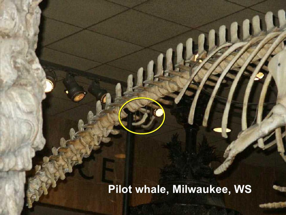 Pilot whale, Milwaukee, WS