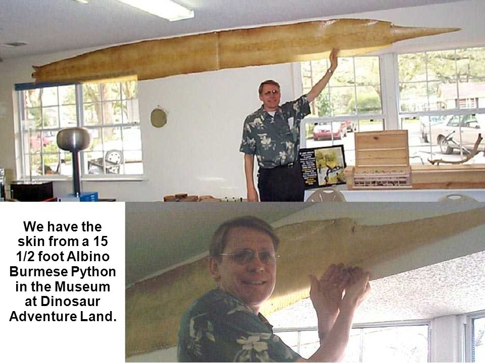 We have the skin from a 15 1/2 foot Albino Burmese Python in the Museum at Dinosaur Adventure Land.