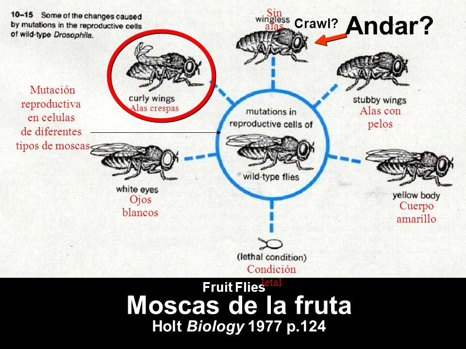 **** fruit flies (find in textbook) Moscas de la fruta Holt Biology 1977 p.124 Crawl? Andar? Fruit Flies Alas crespas Ojos blancos Cuerpo amarillo Ala