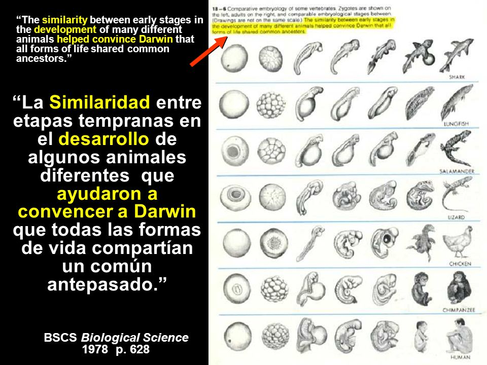 *** Embryology (several textbooks) BSCS Biological Science 1978 p. 628 The similarity between early stages in the development of many different animal