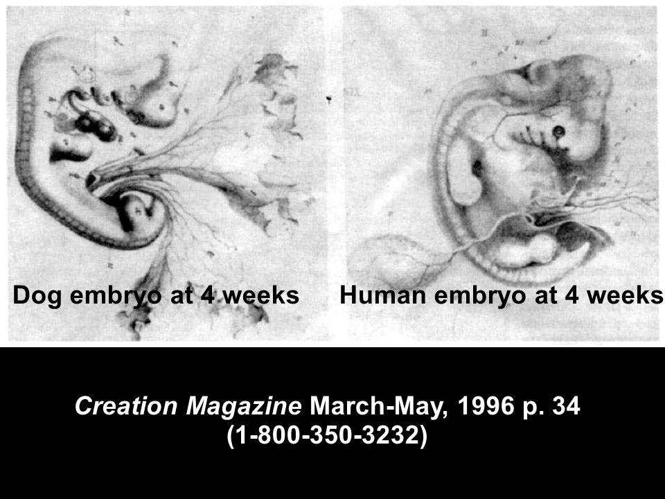 (Creation Magazine in suitcase) Hackels drawings Creation Magazine March-May, 1996 p. 34 (1-800-350-3232) Human embryo at 4 weeksDog embryo at 4 weeks