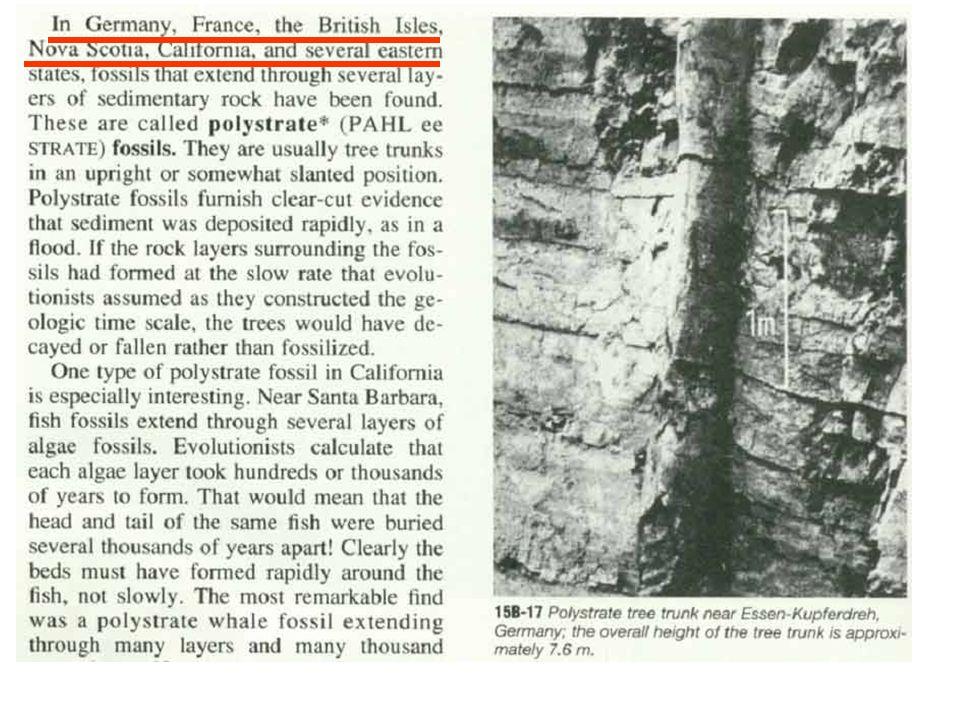 petrified tree running through rock layers (geologic enigmas?) Bob Jones Earth Science p. 306