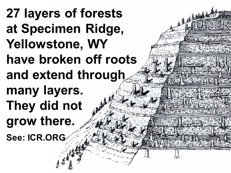 150 27 layers of forests at Specimen Ridge, Yellowstone, WY have broken off roots and extend through many layers. They did not grow there. See: ICR.OR