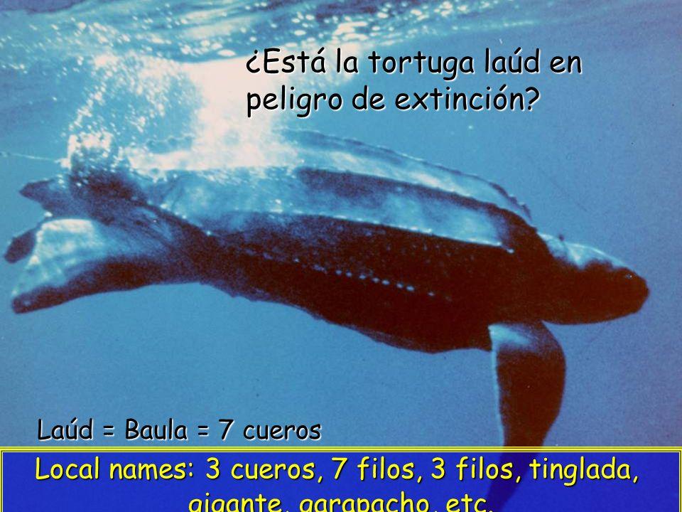 ¿Está la tortuga laúd en peligro de extinción.