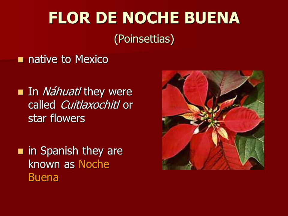 FLOR DE NOCHE BUENA (Poinsettias) native to Mexico native to Mexico In Náhuatl they were called Cuitlaxochitl or star flowers In Náhuatl they were cal