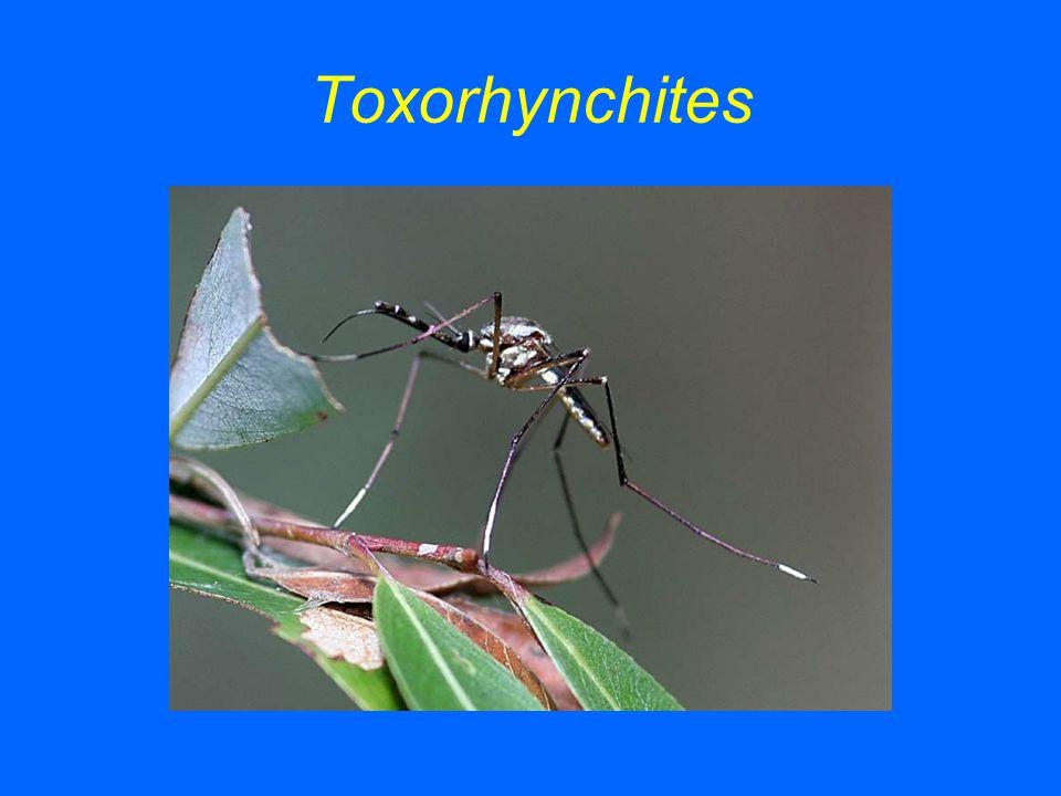 Toxorhynchites