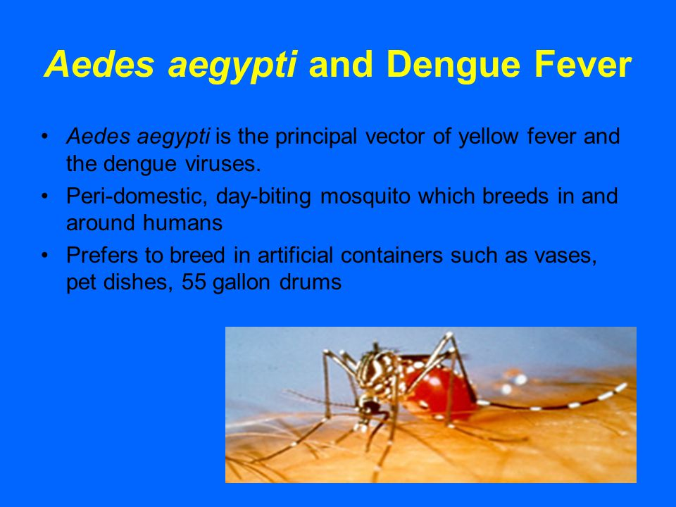 Aedes aegypti and Dengue Fever Aedes aegypti is the principal vector of yellow fever and the dengue viruses. Peri-domestic, day-biting mosquito which