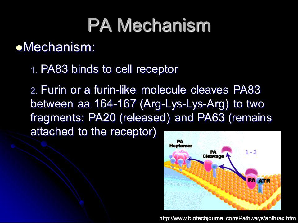 PA Mechanism Mechanism: Mechanism: 1. PA83 binds to cell receptor 2. Furin or a furin-like molecule cleaves PA83 between aa 164-167 (Arg-Lys-Lys-Arg)