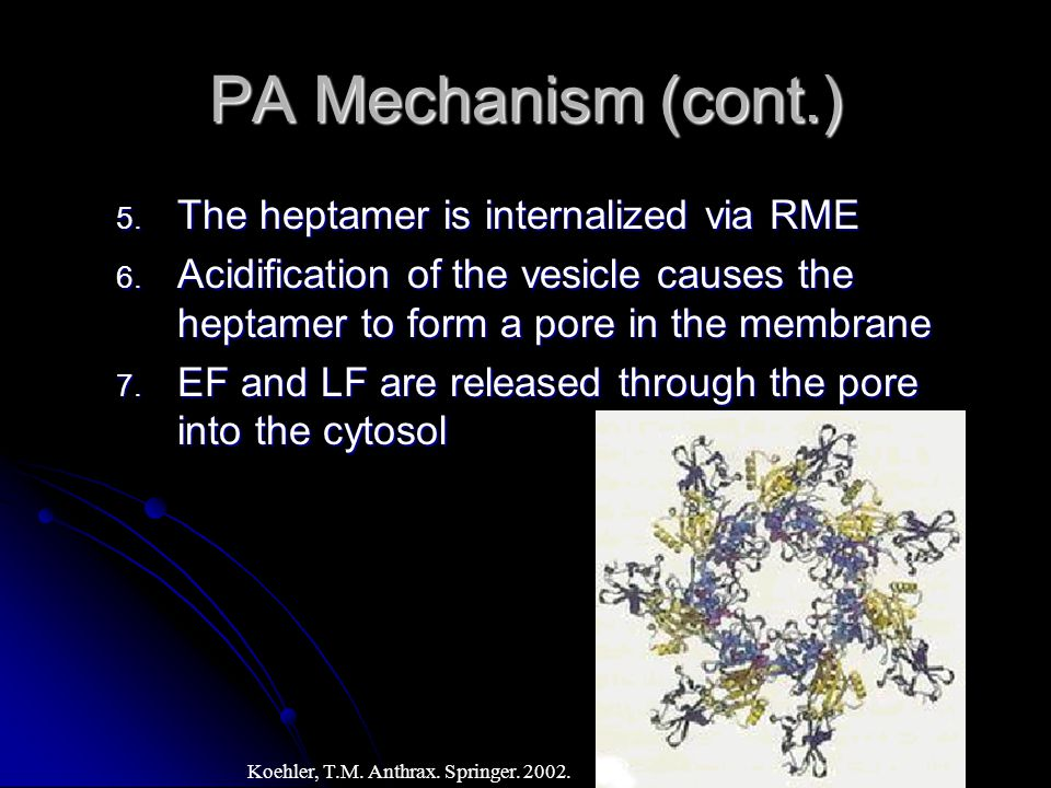 PA Mechanism (cont.) 5. The heptamer is internalized via RME 6.