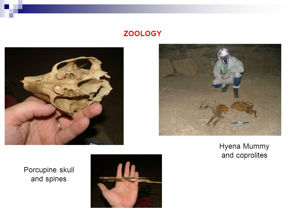 ZOOLOGY Porcupine skull and spines Hyena Mummy and coprolites