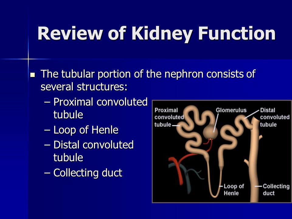 Review of Kidney Function The tubular portion of the nephron consists of several structures: The tubular portion of the nephron consists of several st