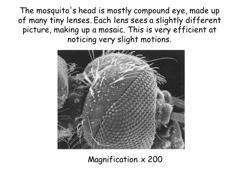 The mosquito's head is mostly compound eye, made up of many tiny lenses. Each lens sees a slightly different picture, making up a mosaic. This is very