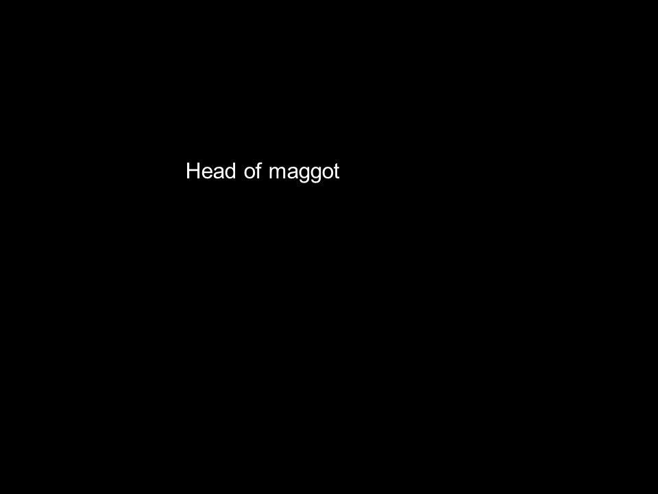 The head of a maggot Head of maggot