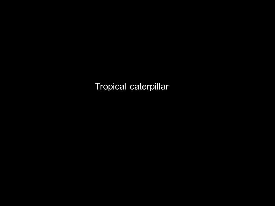 Tropical caterpillar