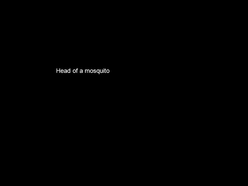 Head of a mosquito
