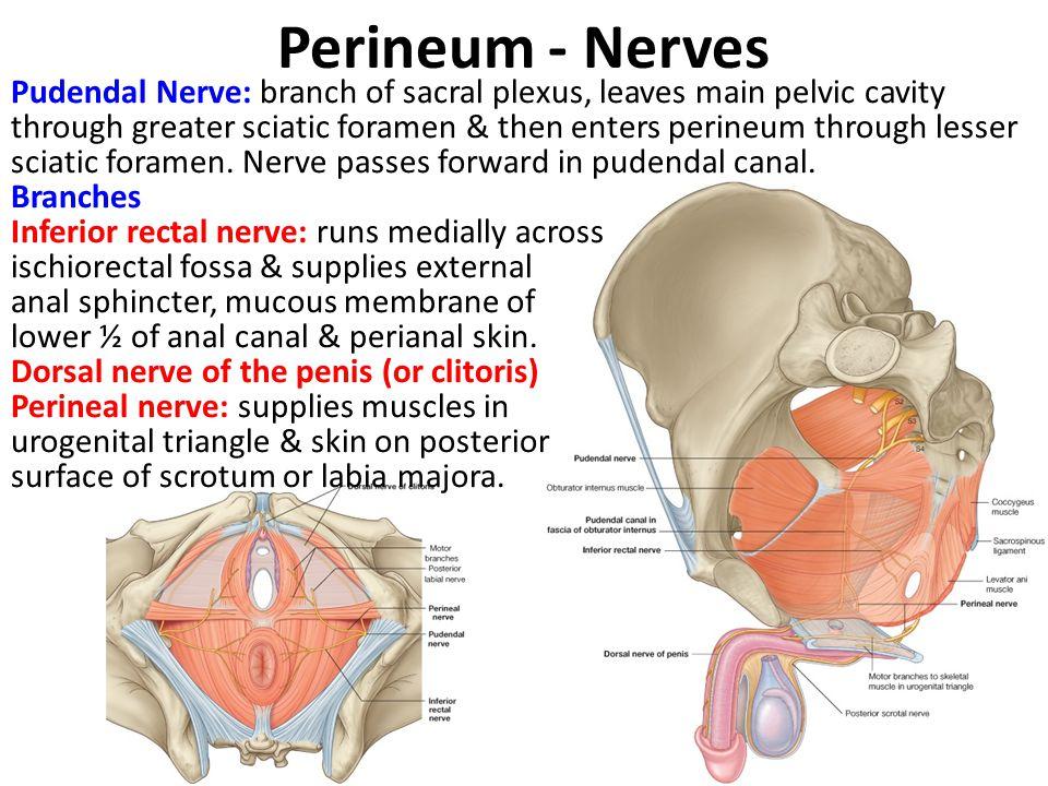 Perineum - Nerves Pudendal Nerve: branch of sacral plexus, leaves main pelvic cavity through greater sciatic foramen & then enters perineum through le