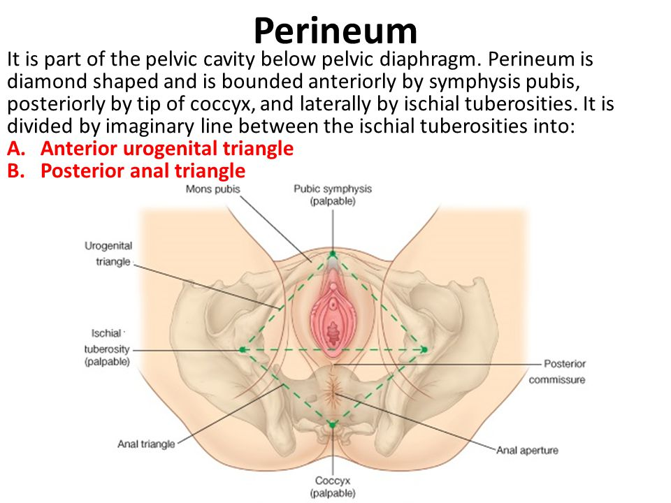 Perineum - Anal triangle Anal triangle is bounded behind by tip of coccyx and on each side by ischial tuberosity and sacrotuberous ligament, overlapped by border of gluteus maximus muscle.